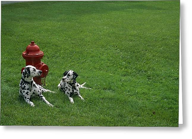 Two Dalmatians Sit On Green Grass Greeting Card by Nadia M.B. Hughes