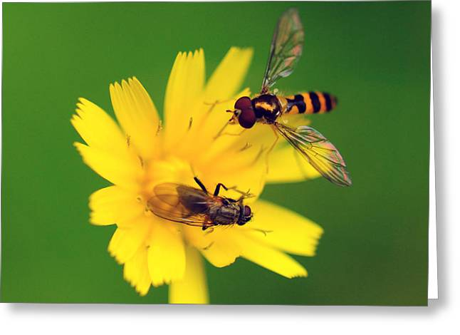 Two Flies Pollinate A Yellow Flower Greeting Card by Darlyne A. Murawski