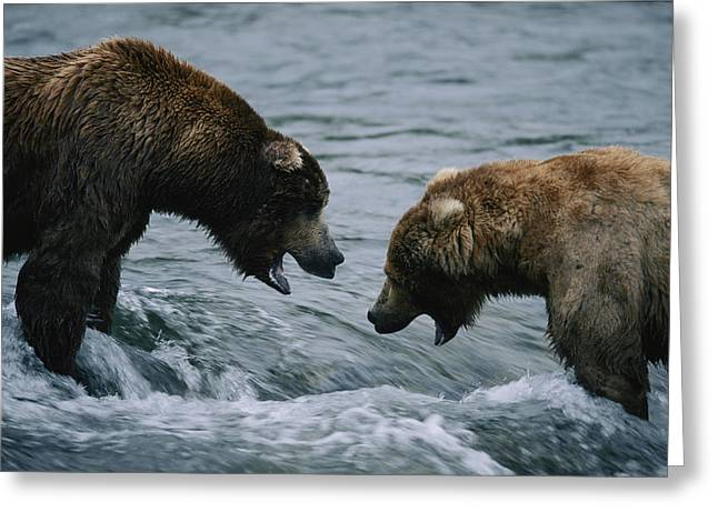 Two Grizzly Bears Stand Face To Face Greeting Card by Joel Sartore
