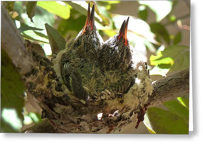Two Hummingbird Babies In A Nest 3 Greeting Card by Xueling Zou
