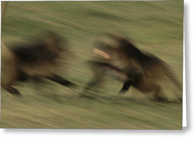 Two Male Geladas Charge Each Other Greeting Card by Michael Nichols