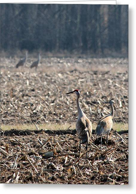 Two Pairs Of Sandhill Cranes Greeting Card by Mark J Seefeldt