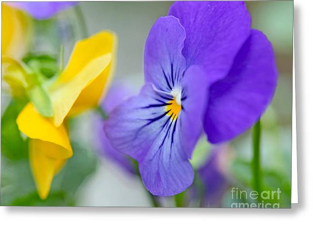 Two Pansies Ln Love Greeting Card