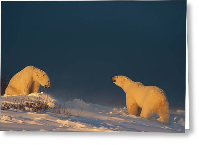 Two Polar Bears Ursus Maritimus Prepare Greeting Card by Norbert Rosing