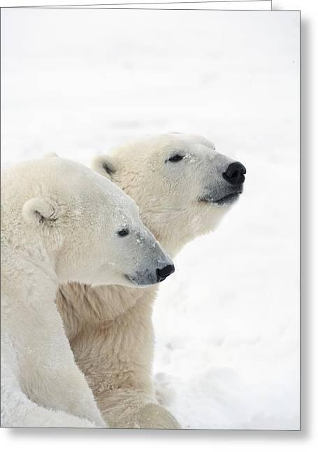 Two Polar Bears Ursus Maritimus Showing Greeting Card by Richard Wear