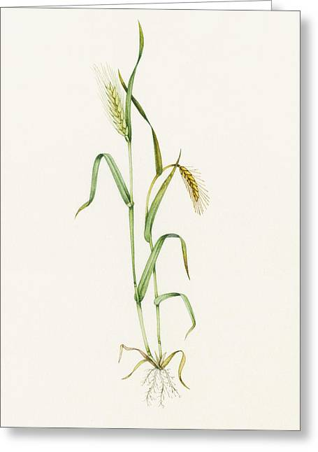 Two-row Barley (hordeum Distichum) Greeting Card by Lizzie Harper