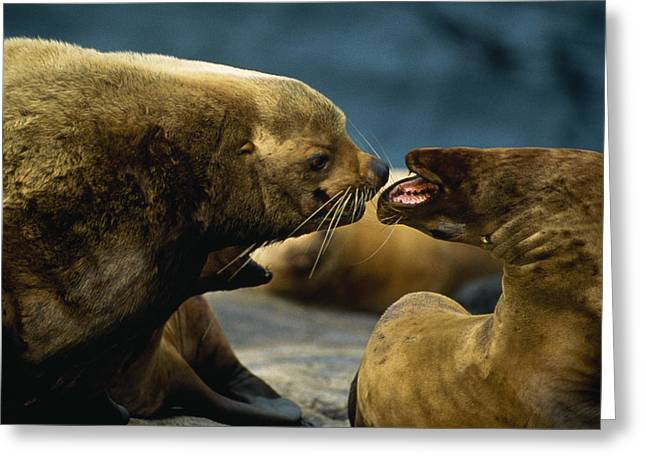Two Steller Sea Lions Yell Greeting Card by Joel Sartore