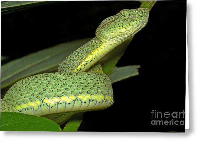 Two Striped Forest Pit Viper Greeting Card by Dante Fenolio