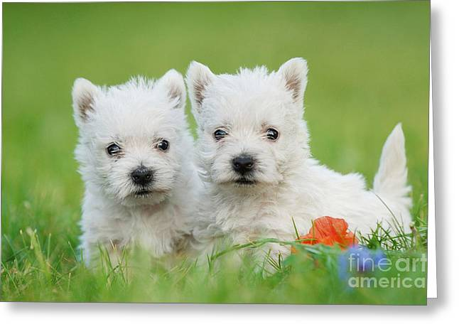 Two West Highland White Terrier Puppies Portrait Greeting Card by Waldek Dabrowski