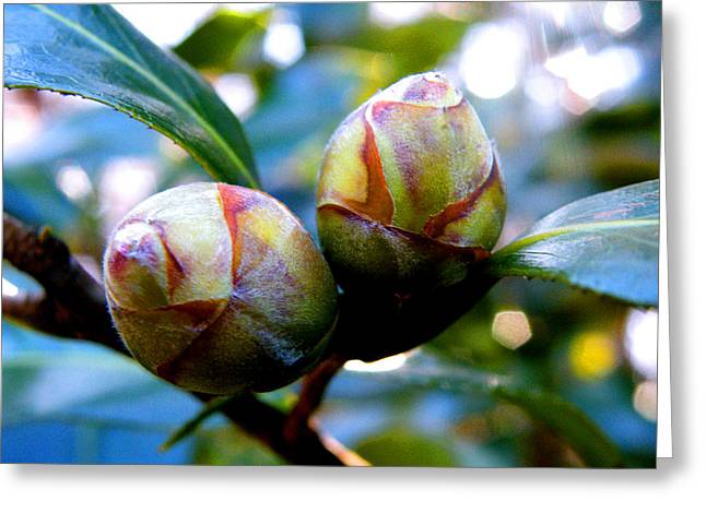 Two Young Camellia's Greeting Card