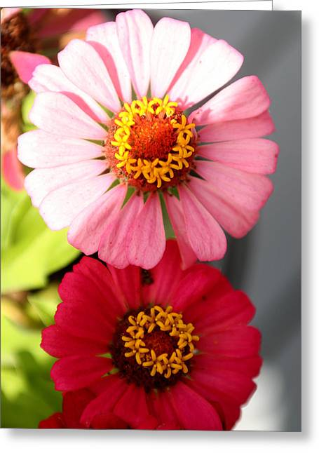 Greeting Card featuring the photograph Two Zinnias In The Shade by Paula Tohline Calhoun