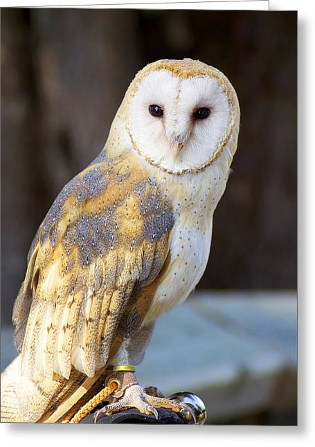 Tyto The Barn Owl Greeting Card