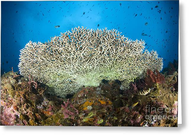 Underside Of A Table Coral, Papua New Greeting Card by Steve Jones