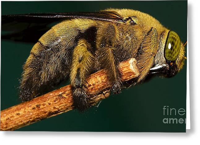 Unknown Wild Bee Greeting Card