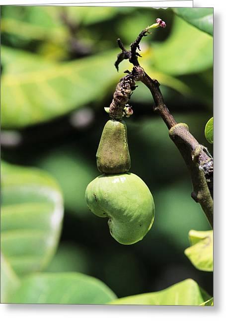 Unripe Cashew Nuts Greeting Card