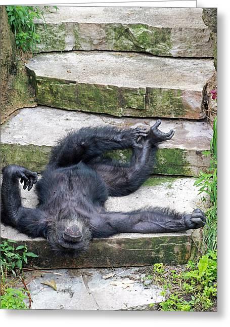 Up Close Lazy Chimp Greeting Card by Lori Johnson