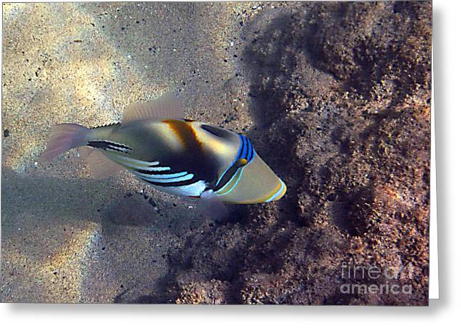 Upclose With A Lagoon Triggerfish Greeting Card