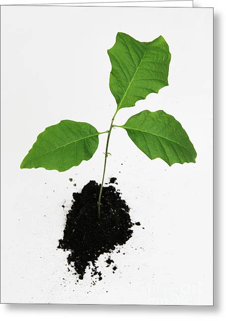 Uprooted Plant Greeting Card by Photo Researchers, Inc.