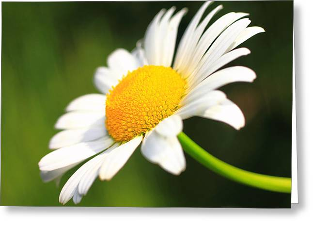Upturned Daisy Greeting Card