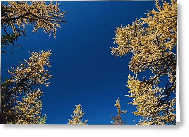 Upward View Of Blue Sky And Conifer Greeting Card by Raymond Gehman