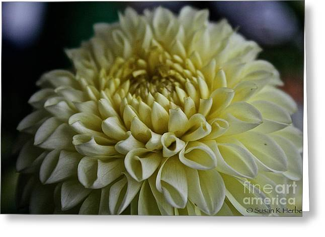 Vanilla Dahlia Greeting Card by Susan Herber