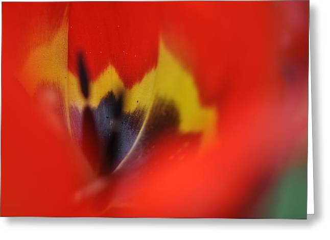 Greeting Card featuring the photograph Variegated Tulip by Rob Hemphill