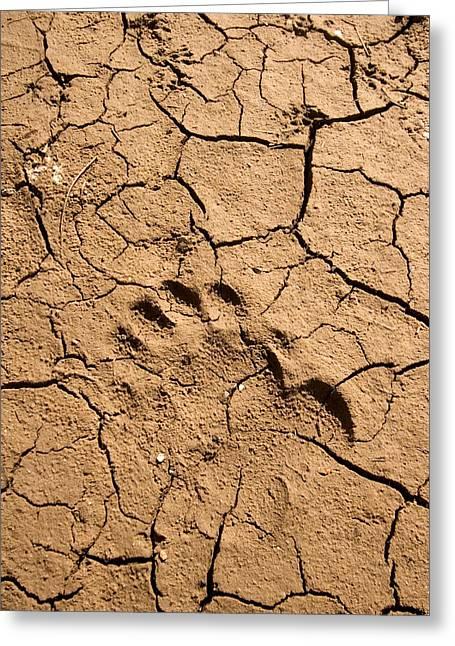 Various Footprints In Cracked Mud Greeting Card by Phil Schermeister