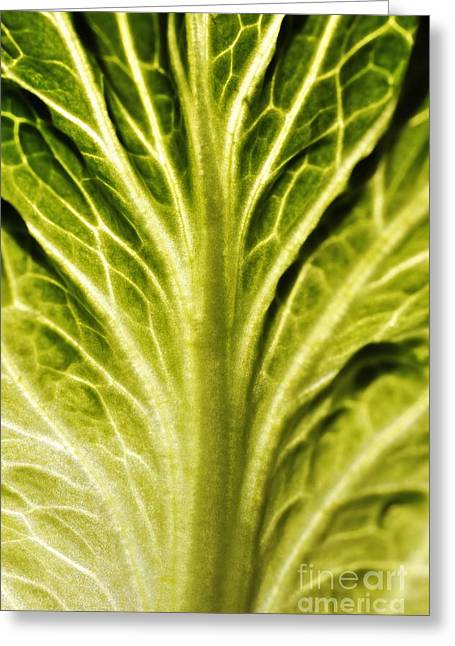 Veins On A Lettuce Leaf Greeting Card by Sami Sarkis
