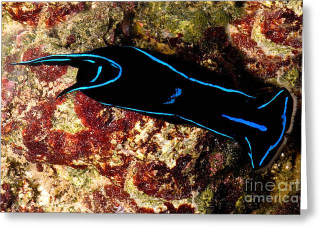 Velvet Sea Slug Greeting Card by Dant� Fenolio