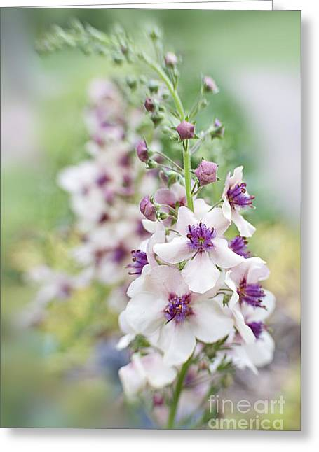 Verbascum Jackie Greeting Card by Jacky Parker