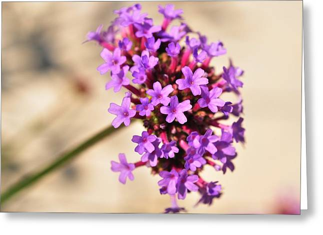 Greeting Card featuring the photograph Verbena  by Puzzles Shum