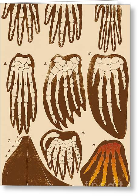 Vertebrate Mammal Forefeet, Ernst Greeting Card by Science Source