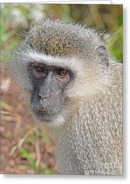 Vervet Monkey Greeting Card by Jonathan Whichard