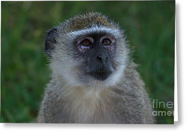 Vervet Monkey Looking Up Greeting Card
