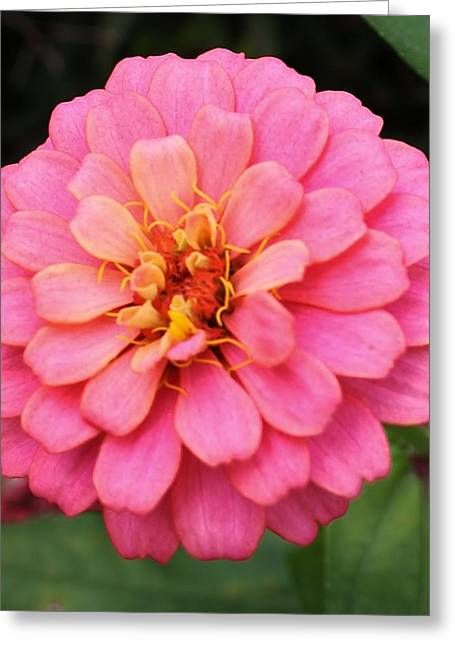 Vibrant Pink Zinna Greeting Card by Bruce Bley
