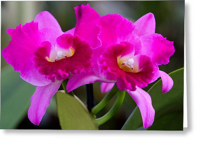 Vibrant Violet Orchids Greeting Card by Linda Phelps