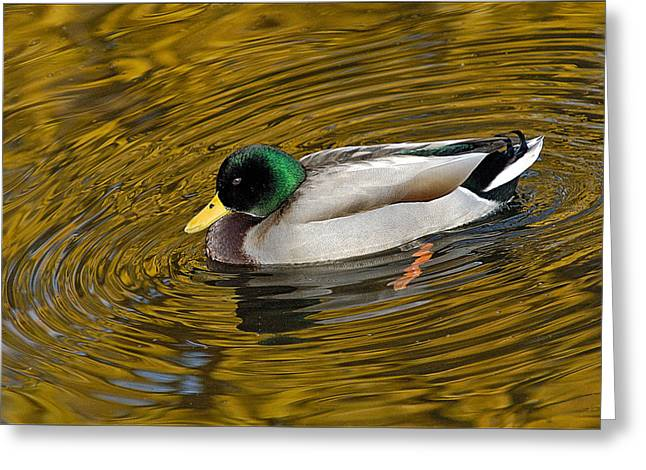 Vibrating Mallard Greeting Card by Howard Knauer