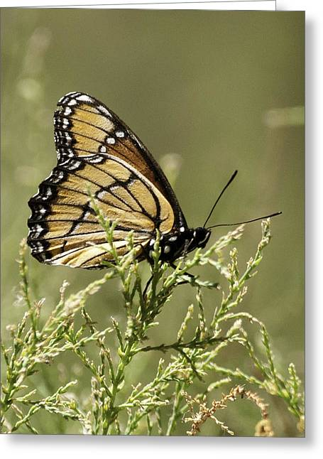 Greeting Card featuring the photograph Viceroy Butterfly by Betty Depee