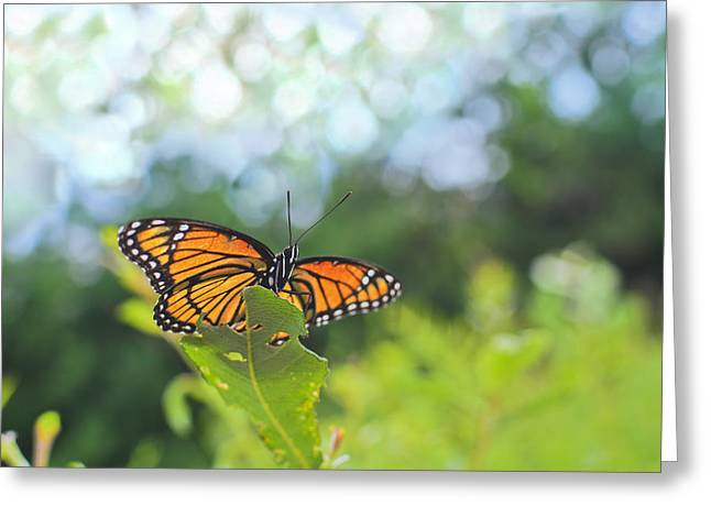 Viceroy Butterfly Limenitis Archippus  Greeting Card by Marianne Campolongo