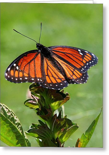 Viceroy Butterfly Number Two Greeting Card by Paula Tohline Calhoun