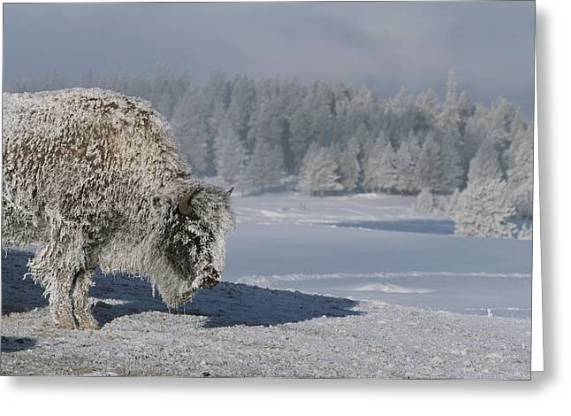 View Of An Ice-encrusted American Bison Greeting Card by Tom Murphy