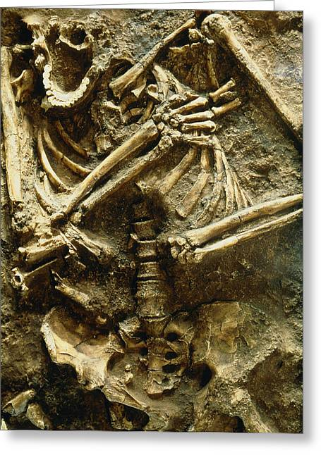 View Of The Skeleton Of A Neanderthal Greeting Card by Volker Stegernordstar - 4 Million Years Of Man