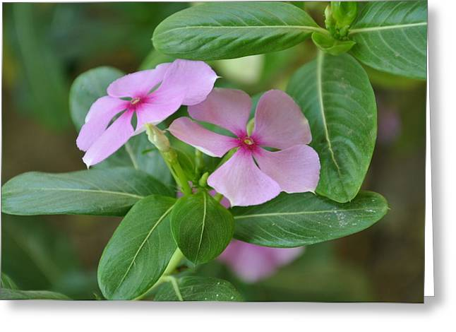 Vinca Rosea Greeting Card by Sajjad Musavi