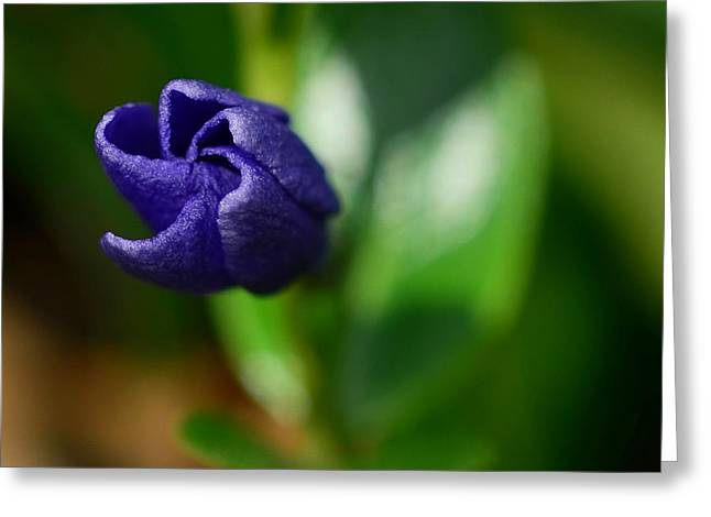 Vinca Unfolding Greeting Card by Lisa Phillips
