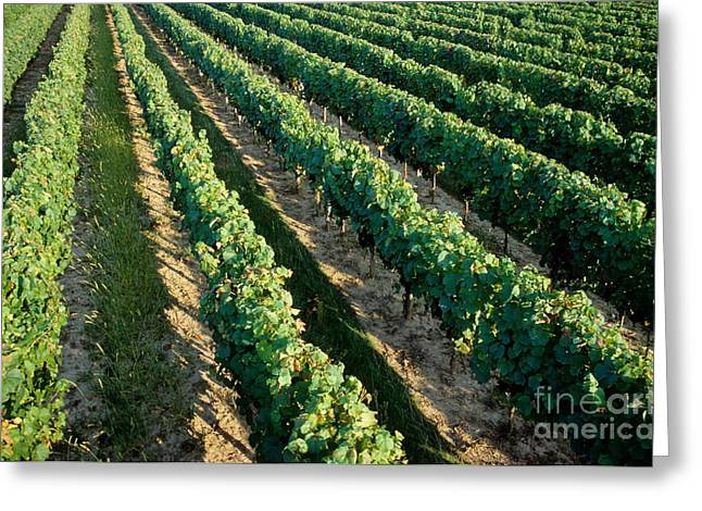 Vineyards At Sunrise Greeting Card