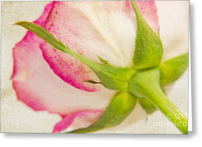 Vintage Rose Greeting Card by Angela Doelling AD DESIGN Photo and PhotoArt