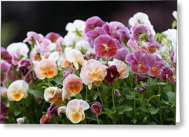 Viola 'light Strawberry Sundae' Greeting Card by Maria Mosolova