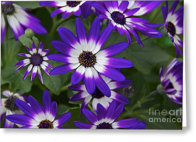 Violet Bicolor Greeting Card by Sean Griffin