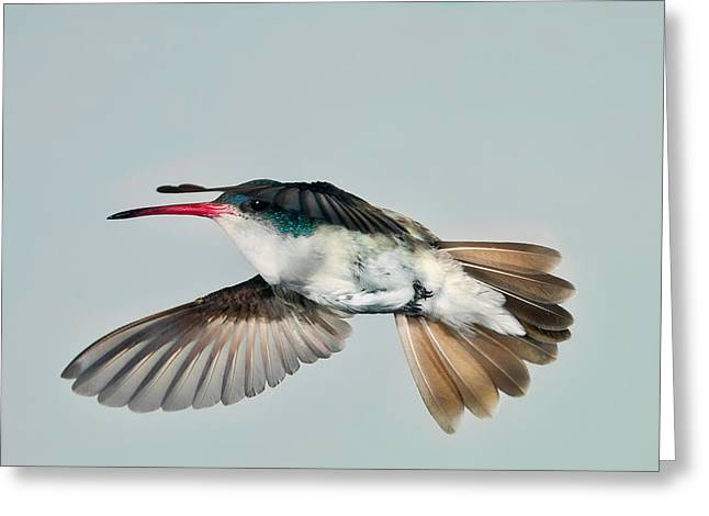 Greeting Card featuring the photograph Violet Crowned Hummingbird In Level Flight by Gregory Scott