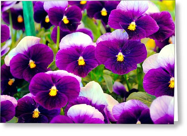 Violet Pansies Greeting Card by Sumit Mehndiratta